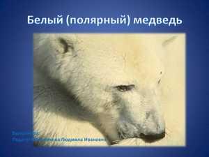 белый медведь презентация