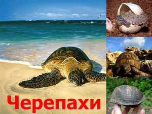 черепахи презентация