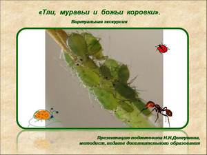 про тлю и муравьев презентация