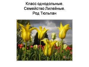 про тюльпаны презентация