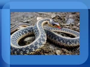 о ядовитых змеях презентация