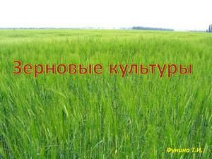 о зерновых культурах презентация